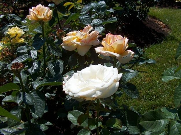 Roses 007-LR