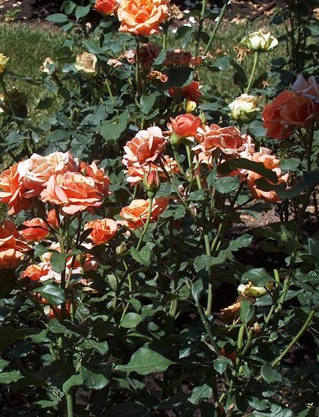 Roses 015-LR