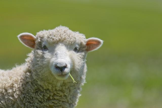 how-to-raise-sheep